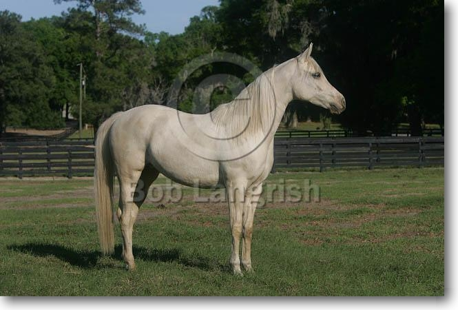 http://www.boblangrish.com/images/galleriesimages/MW8Z2608NationalShowHorse,Cream-CremelloColour.jpg