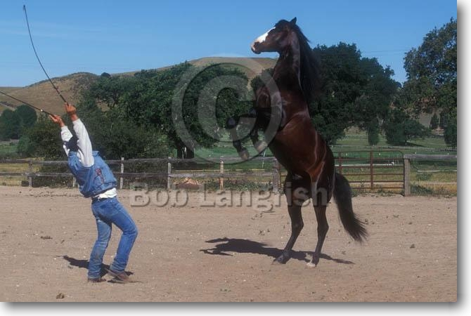 Wild Horses Rearing And Bucking Trick Horse Rearing