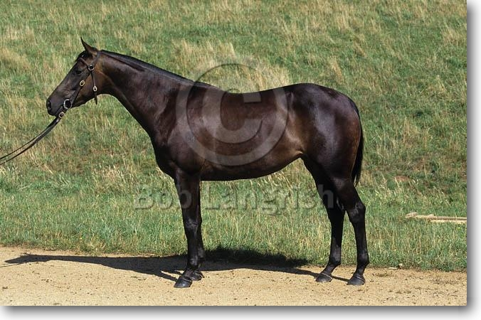 http://www.boblangrish.com/images/galleriesimages/pic09Australian%20Stock%20Horse.jpg