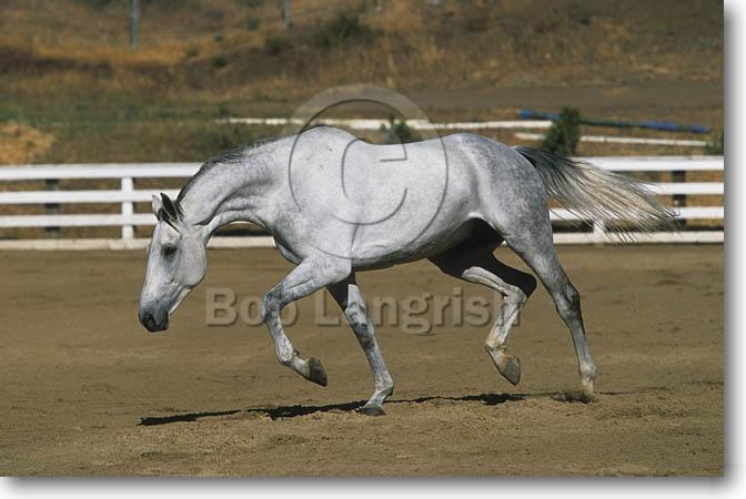 White Selle Francais Horse