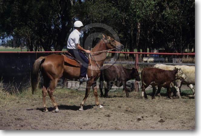 http://www.boblangrish.com/images/galleriesimages/pic24Australian%20Stock%20Horse%20&%20Cows.jpg