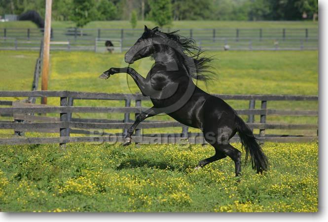 mustang horse rearing. Horse Stallion Rearing